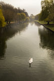 Single mute swan on river Great Ouse in Bedford, England Stock Photo