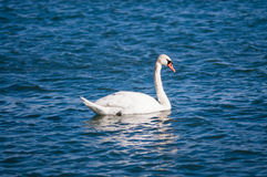 Single mute swan on water. Royalty Free Stock Photography