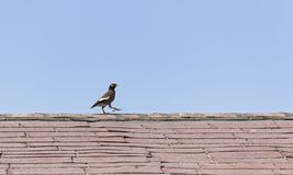 Single Myna Bird on an Old Rooftop royalty free stock images