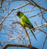 Single nanday parakeet looking left in South America Stock Image