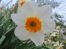 Single narcissist blossom. A single narcissist blossom. Six white petals surround the bright orange ruffled center enclosing the stamen and pistel of this spring Stock Photos