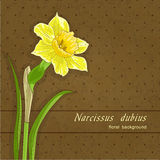 Single narcissus Royalty Free Stock Images