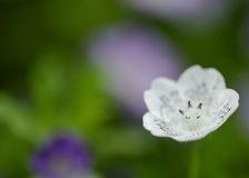 Single nemophila Stock Images