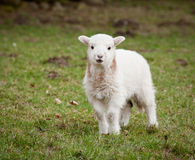 Single new born lamb Stock Images