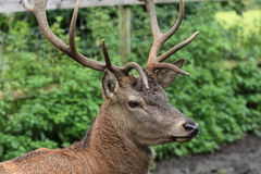 Single nice Deer in the zoo park stock images