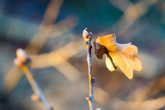 Single oak branch with new leaves in cold day. Royalty Free Stock Images