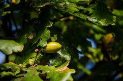 Single oak fruit on branch of oak tree. Lit up from sun royalty free stock photography