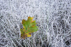 Single oak leaf. A single oak leaf against a field of frosted grass in autumn Stock Images