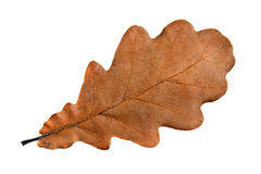 Single oak leaf. Sharp and clean, large size Royalty Free Stock Photo