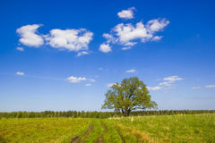 Single oak in May. Royalty Free Stock Photo