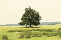 Single Oak Royalty Free Stock Photo