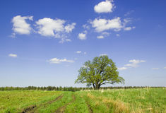 Single oak  in the spring. Royalty Free Stock Photos
