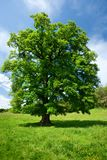 Single oak tree. Single big oak tree in a meadow near the forest stock photography