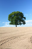 Single Oak Tree. A lone single oak tree in a newly ploughed and rolled field. Tractor tire imprints mark the field and the tree stands against a blue sky stock photo