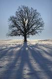 Single oak tree. In winter stock photos