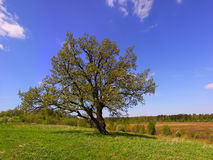 Single oak tree on the field. Royalty Free Stock Photo