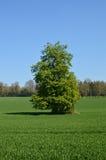 Single Oak tree in field. Royalty Free Stock Photos