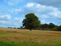 Single Oak Tree in Field, Warwickshire, England Royalty Free Stock Photo