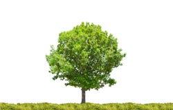 Single oak tree in green grass Stock Image