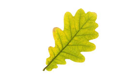 Single oak tree leaf in autumn Stock Photography