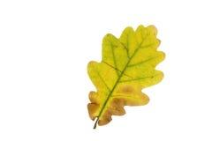 Single oak tree leaf in autumn Stock Photos