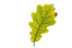 Single oak tree leaf in autumn Stock Photo