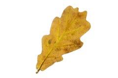 Single oak tree leaf in autumn Royalty Free Stock Photos