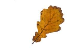 Single oak tree leaf in autumn Stock Images