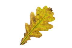 Single oak tree leaf in autumn Royalty Free Stock Images