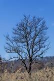 Silhouette of a leafless tree against a blue sky in winter season. Single oak tree leafless against winter blue sky stock image