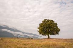Single oak tree Stock Photo