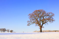 Single oak tree snow landscape Stock Images
