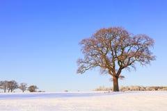 Single oak tree snow landscape stock images