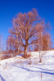 Single Oak Tree at Snowy Slope Landscape Stock Photography