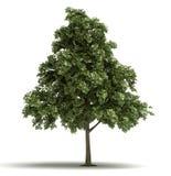 Single Oak Tree royalty free stock photos