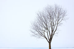 Single oak tree in winter,. Covered with frost on a foggy afternoon Royalty Free Stock Images