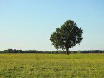 Oak tree in field, Lithuania Stock Images