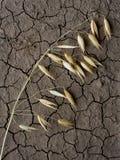Single oat ear on drought soil Stock Image
