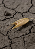 Single oat grain and waterless. Macro of one oat corn on dehydrated ground Stock Photos