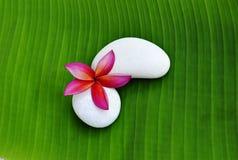 Single Of Plumeria Flower Stock Images