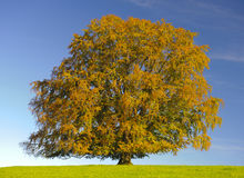 Single old beech tree in medow at fall Stock Photography
