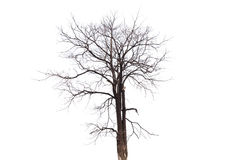 Single old and dead tree isolated on white background.  Stock Photo