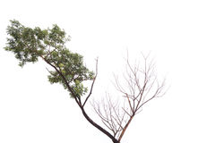Single old and dead tree isolated on white background.  Royalty Free Stock Image