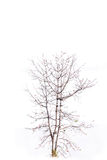 Single old and dead tree isolated on white background Royalty Free Stock Image