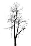 Single old and dead tree on white background Royalty Free Stock Photos