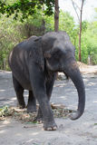 Single old female Asiatic elephant walk. In Thailand royalty free stock image