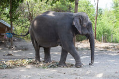 Single old female Asiatic elephant walk. In Thailand stock image