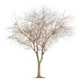 Tree on white background Stock Photography