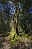 Single old olive tree Royalty Free Stock Photography