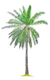 Single old palm oil tree. Royalty Free Stock Photography